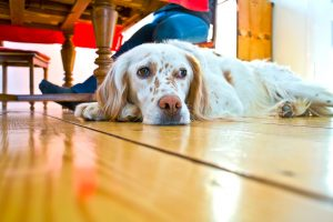 pets and flooring st. louis